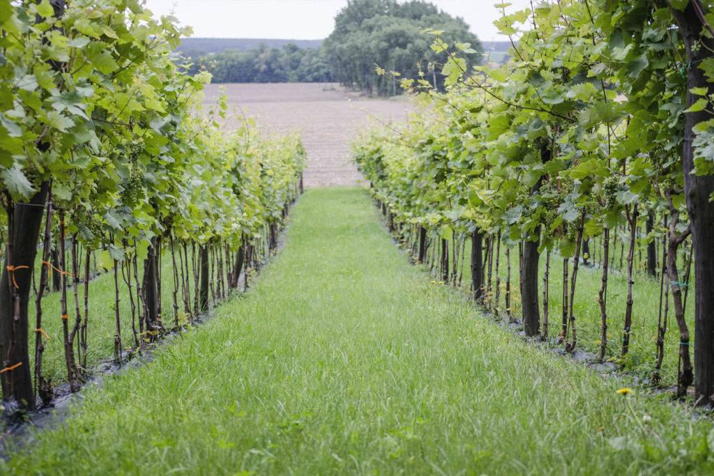 winorośle winnica