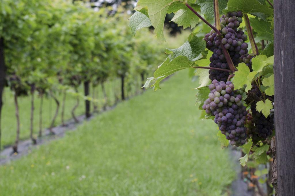 winobranie lubuskie